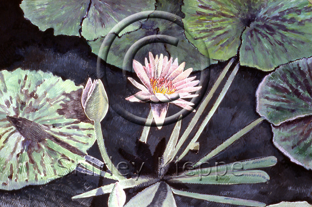 Pink Waterlily - The Story Behind The Art