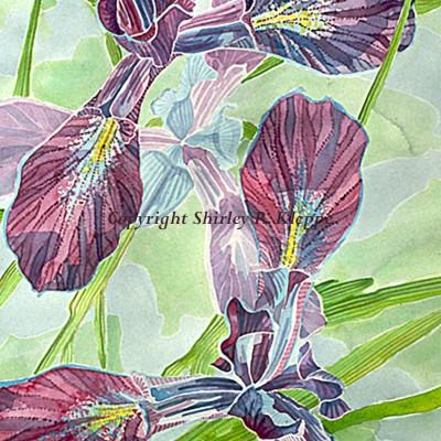 Iris Delicata